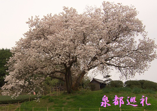 20090329hyakunensakura05.jpg