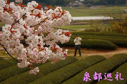 20090329hyakunensakura06.jpg