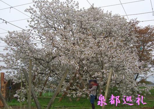 20090405yureisakura01.jpg