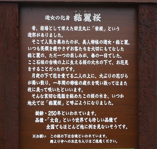 20090405yureisakura02.jpg