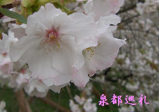 20090405yureisakura03.jpg