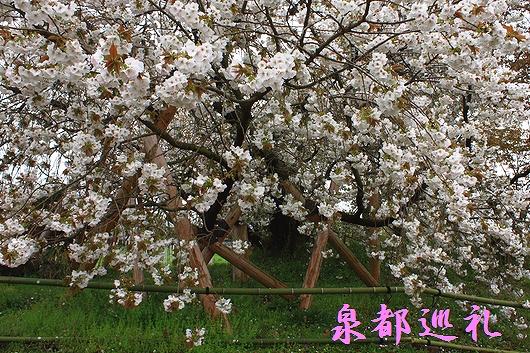 20090405yureisakura04.jpg