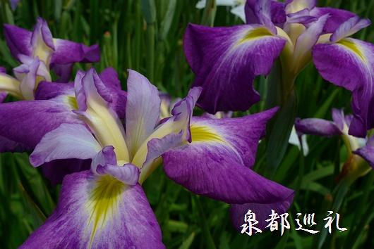20090614yamatoshobuen03.jpg
