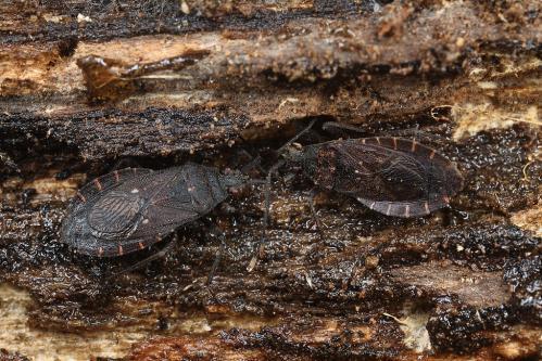 オオツマキヘリカメムシ