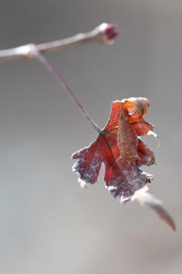 ミスジチョウ越冬幼虫