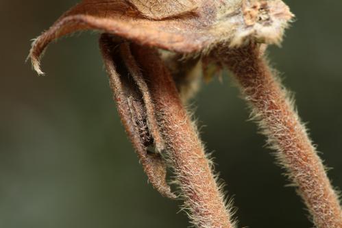 イチモンジチョウ?幼虫