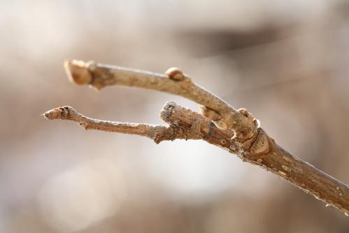 クワエダシャク幼虫