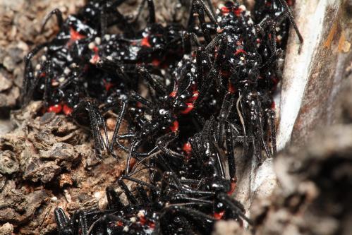 ヨコヅナサシガメ幼虫