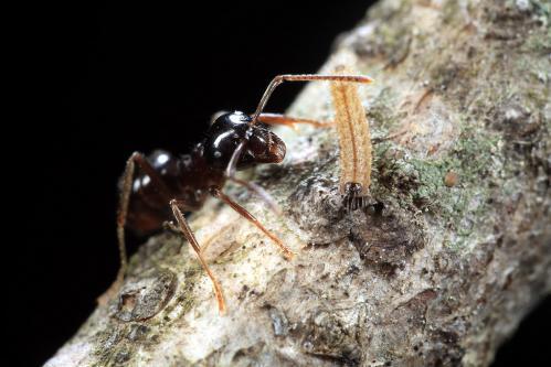 ムモンアカシジミ幼虫とフシボソクサアリ