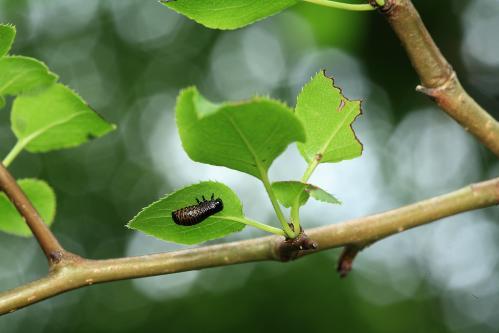 ヤマトヨダンハムシ若齢幼虫