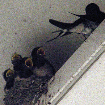 swallows17