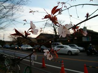 早く開いた桜の花_2009-03-28
