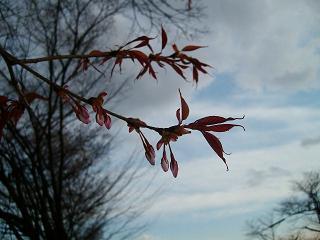 薄暗い夕方の空と桜の蕾_2009-03-28