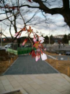 今にも開きそうな蕾_2009-03-28