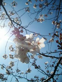 陽に映える桜の花_2009-03-30