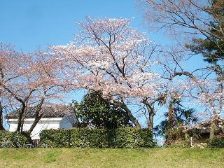 少し早めに咲いた京の桜_2009-03-30