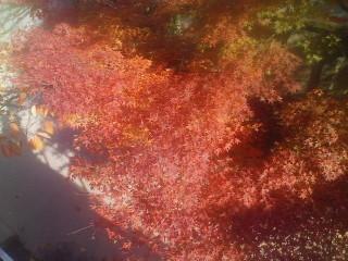 誕生日にも見られる紅葉(3)_2009-11-30