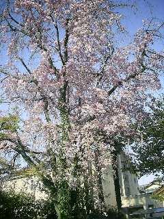 猫と桜の樹_2009-04-09