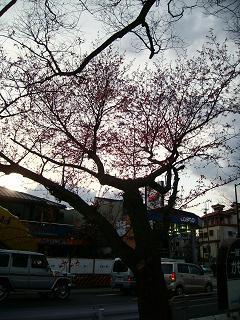 新公園の桜の木_2009-03-28