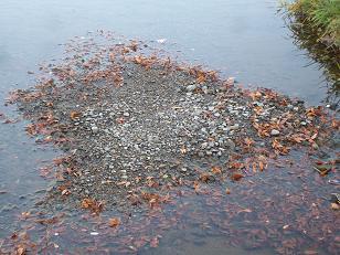 賀茂川の水面の落ち葉