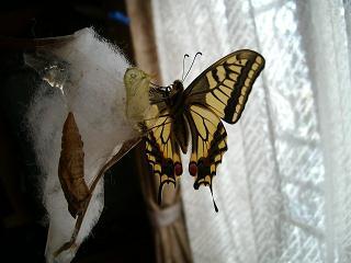 キアゲハの羽化(1)_2009-03-31