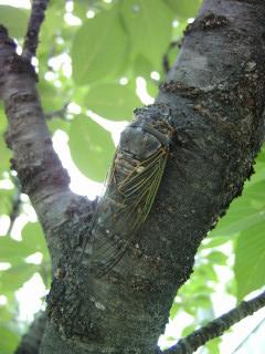 樹に止まるクマゼミ_2009-07-30
