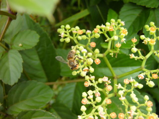 蜜蜂_2009-07-18