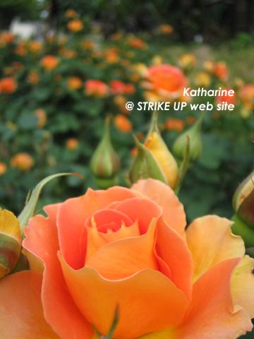 美しいっ!!薔薇!!
