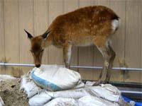 資材の袋をかじる鹿