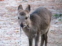 ロープをくわえた鹿