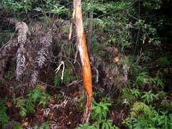 樹皮剥ぎ リョウブ(多々良付近)