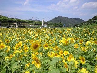 080820_himawari.jpg