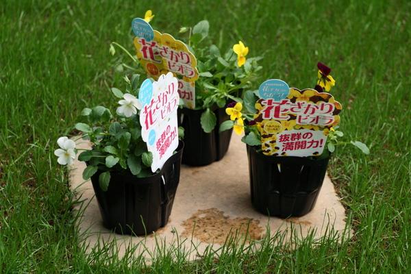 花ざかりビオラ3種