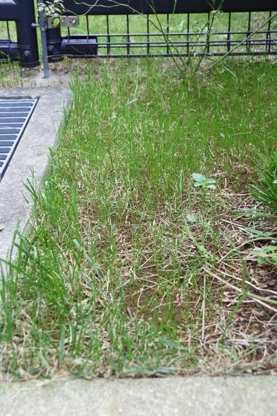 階段上の西洋芝の種まき(1週間半経過)