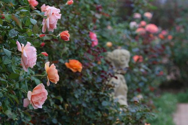 バラ花壇2