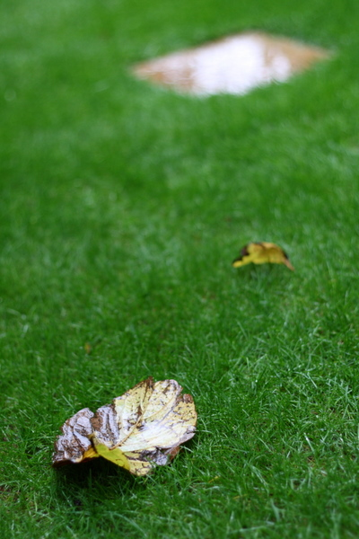コブシの落ち葉