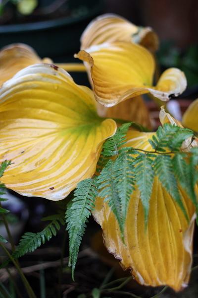 サガエの黄葉
