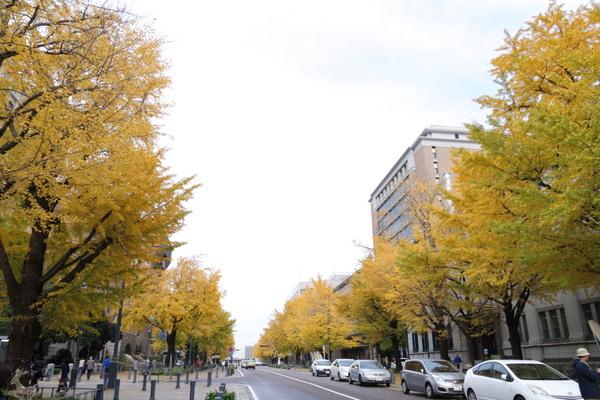 日本大通りのイチョウ2