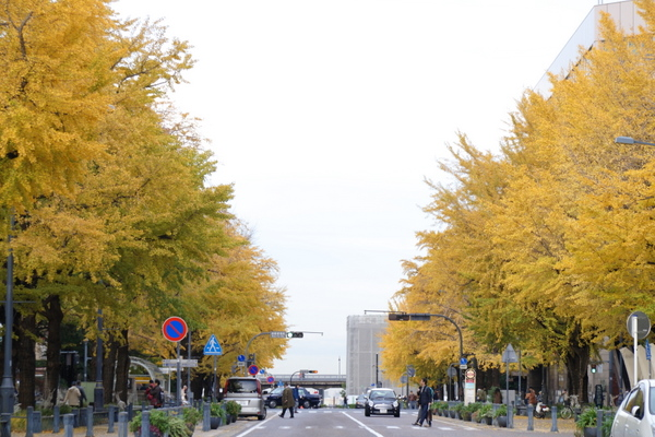 日本大通りのイチョウ1