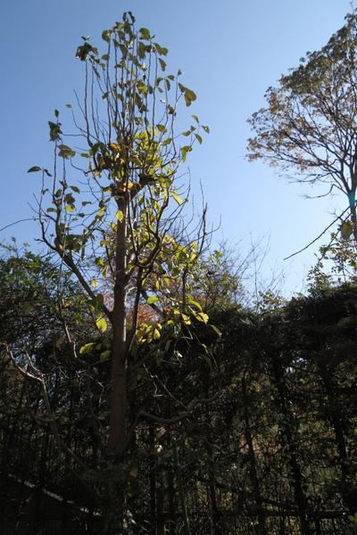 落葉したコブシの木