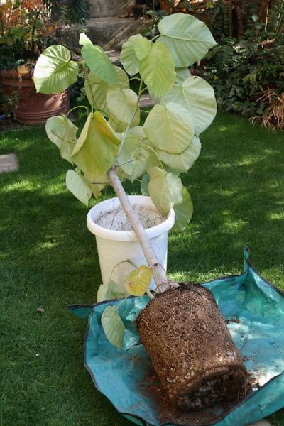フィカスウンベラータの根鉢