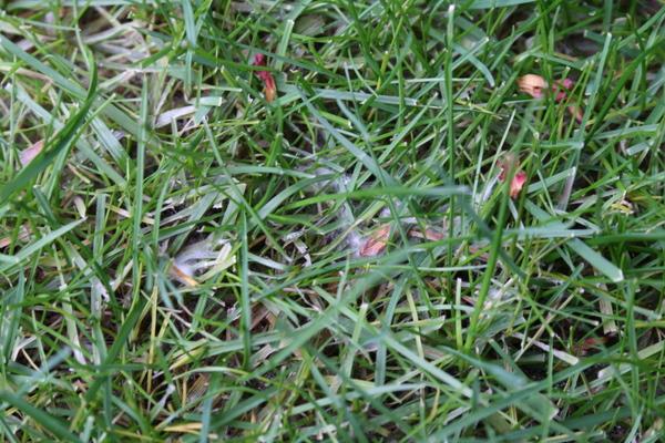 芝の病気発生(白い菌糸)