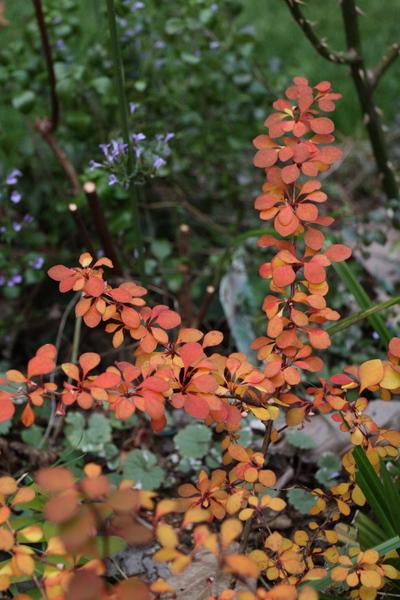 黄金メギの紅葉