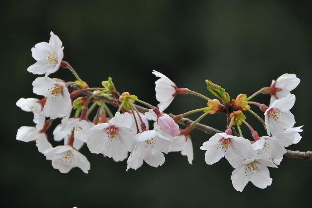 獅子ヶ鼻公園桜まつり08