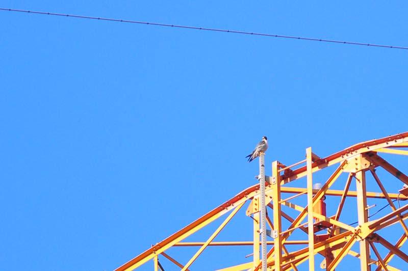 ハヤブサ鉄塔