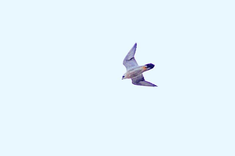 ハヤブサ飛翔