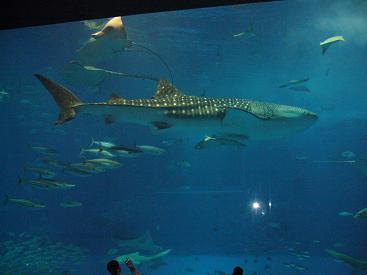 美ら海水族館16