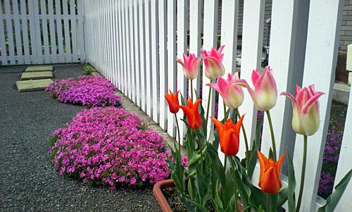 芝桜を背景にした、おすましチューリップ きれいだよ v(^_^)