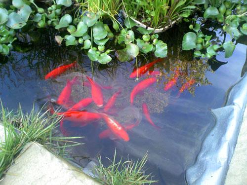 池の金魚達 足音やエサ箱を開ける音につられて寄ってきた金魚たち かわいいね (^O^)y