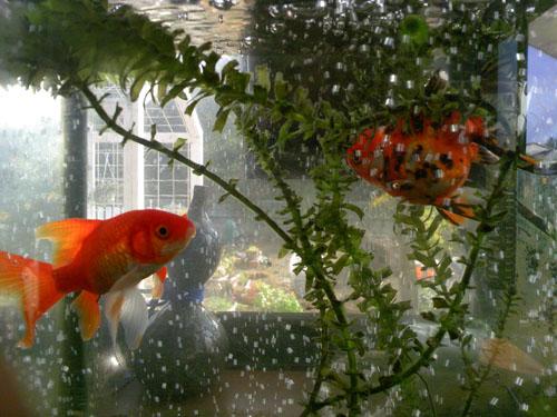 リビングの出窓においてある角型水槽の金魚君 (´m`)むふ